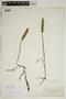 Spiranthes incurva (Jenn.) M. C. Pace, U.S.A., E. T. Harper, F