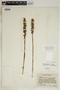 Spiranthes incurva (Jenn.) M. C. Pace, U.S.A., J. A. Steyermark 72704, F