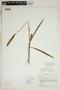 Spiranthes incurva (Jenn.) M. C. Pace, U.S.A., R. M. Eiseman 265, F