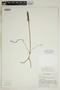 Spiranthes incurva (Jenn.) M. C. Pace, U.S.A., R. A. DeFilipps 62, F