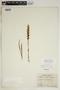 Spiranthes incurva (Jenn.) M. C. Pace, U.S.A., J. A. Steyermark 64973, F