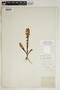 Spiranthes incurva (Jenn.) M. C. Pace, U.S.A., R. N. Lloyd, F
