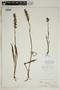 Spiranthes incurva (Jenn.) M. C. Pace, U.S.A., W. W. Calkins, F