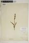 Spiranthes incurva (Jenn.) M. C. Pace, U.S.A., W. H. Dunham, F