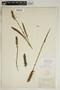 Spiranthes incurva (Jenn.) M. C. Pace, U.S.A., F. C. Gates 925, F