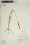 Spiranthes incurva (Jenn.) M. C. Pace, U.S.A., T. Brodene, F