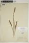 Spiranthes incurva (Jenn.) M. C. Pace, U.S.A., N. V. Haynie, F