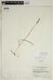 Spiranthes incurva (Jenn.) M. C. Pace, U.S.A., F. A. Swink 737, F