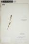 Spiranthes incurva (Jenn.) M. C. Pace, U.S.A., N. R. Farnsworth IN-163, F
