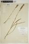 Spiranthes incurva (Jenn.) M. C. Pace, U.S.A., N. V. Haynie 1301, F