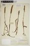 Spiranthes incurva (Jenn.) M. C. Pace, U.S.A., O. E. Lansing, Jr. 1062, F