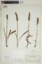Spiranthes incurva (Jenn.) M. C. Pace, U.S.A., O. E. Lansing, Jr. 1847, F
