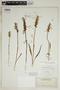 Spiranthes incurva (Jenn.) M. C. Pace, U.S.A., O. E. Lansing, Jr. 1921, F
