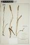 Spiranthes incurva (Jenn.) M. C. Pace, U.S.A., O. E. Lansing, Jr. 2682, F