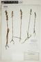 Spiranthes incurva (Jenn.) M. C. Pace, U.S.A., O. E. Lansing, Jr. 3947, F