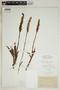 Spiranthes incurva (Jenn.) M. C. Pace, U.S.A., L. M. Umbach, F
