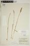 Spiranthes incurva (Jenn.) M. C. Pace, U.S.A., F. A. Swink 1906, F