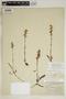 Spiranthes incurva (Jenn.) M. C. Pace, U.S.A., H. C. Benke 3766, F