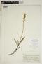 Spiranthes incurva (Jenn.) M. C. Pace, U.S.A., F. E. Drouet 5836, F