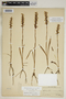 Spiranthes incurva (Jenn.) M. C. Pace, U.S.A., R. Bebb 123, F