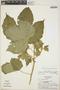 Cnidoscolus urens subsp. adenophilus (Pax & K. Hoffm.) Breckon, Panama, T. B. Croat 12732, F
