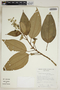 Miconia dodecandra Cogn., Bolivia, S. G. Beck 16333, F