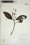 Miconia prasina (Sw.) DC., Bolivia, S. G. Beck 16343, F