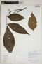 Paullinia cf. acutangula (Ruíz & Pav.) Pers., Ecuador, D. Reyes 3964, F