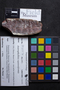 PP 35570 [HS, M] Asterophyllites equisetiformis, Moscovian, Francis Creek Shale Member, United States of America, Illinois, Mazon Creek Region