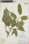 Croton billbergianus Müll. Arg., Costa Rica, M. H. Grayum 5511, F