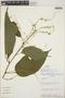 Croton billbergianus Müll. Arg., Costa Rica, M. H. Grayum 3282, F