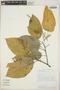 Croton billbergianus Müll. Arg., Costa Rica, M. H. Grayum 10529, F