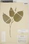 Croton billbergianus Müll. Arg., Costa Rica, R. W. Holm 62, F