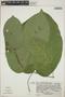 Croton billbergianus Müll. Arg., Costa Rica, L. J. Poveda 1100, F