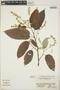 Croton billbergianus Müll. Arg., Costa Rica, R. W. Lent 3380, F