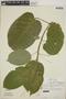 Croton billbergianus Müll. Arg., Costa Rica, L. D. Gómez P. 2315, F