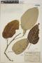 Croton billbergianus Müll. Arg., Costa Rica, J. León A. 6844, F