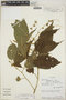 Croton billbergianus Müll. Arg., Costa Rica, W. A. Haber 1688, F