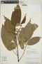 Croton billbergianus Müll. Arg., Costa Rica, W. A. Haber 1851, F