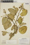Croton billbergianus Müll. Arg., Panama, T. B. Croat 6113, F