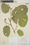 Croton billbergianus Müll. Arg., Panama, T. B. Croat 6239, F