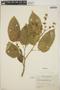Croton billbergianus Müll. Arg., Panama, H. von Wedel 2524, F
