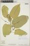 Croton billbergianus Müll. Arg., Panama, R. J. Schmalzel 615, F