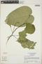 Croton billbergianus Müll. Arg., Panama, N. C. Garwood 1524 A, F