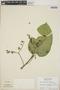 Croton billbergianus Müll. Arg., Panama, A. H. Gentry 1954, F