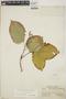 Croton billbergianus Müll. Arg., Panama, S. Aviles 929, F