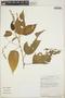 Croton billbergianus Müll. Arg., Costa Rica, S. Martén 1032, F