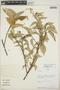 Croton billbergianus Müll. Arg., Panama, G. C. de Nevers 5806, F