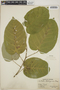 Croton billbergianus Müll. Arg., Panama, O. Shattuck 236, F