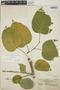 Croton billbergianus Müll. Arg., Panama, L. H. Bailey 396, F